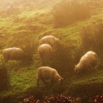 Grazers in the morning mist